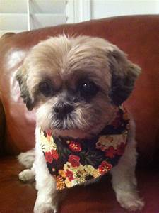Shih Tzu Male Hairstyles Fade Haircut