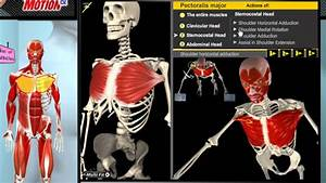 How The Muscles Work  3d Anatomy  U0026 Diagrams