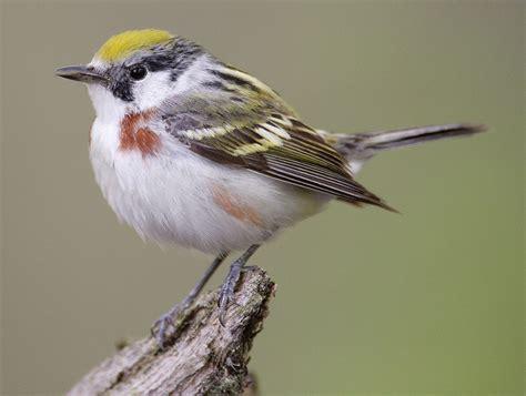 chestnut sided warbler wikipedia