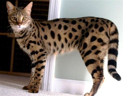 ashera cat 7 best images about ashera cat on cats i want