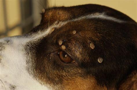 identify  dog tick  pet
