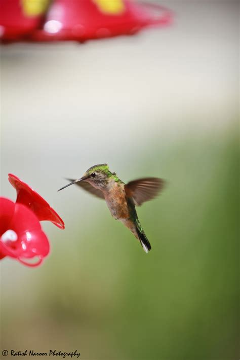 baby hummingbird flying hd wallpaper background images