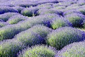 Lavendel Sorten übersicht : lavendel bl ten herkunft geschichte lavandula angustifolia garten pflanzen news green24 ~ Eleganceandgraceweddings.com Haus und Dekorationen
