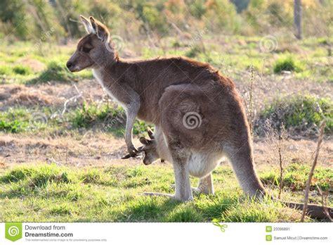 Mother Kangaroo With Joey Stock Image Image Of Green