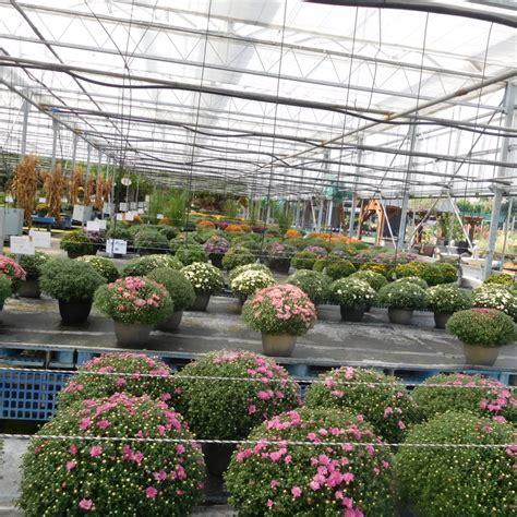 mums the word at lurgan greenhouse sneak peak at their