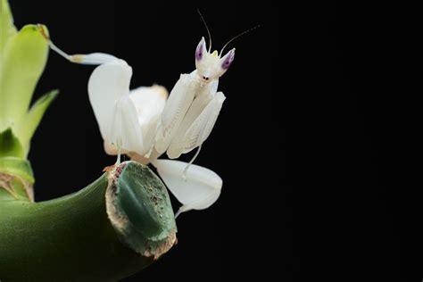 orchid mantis - Google Search | Mantis | Pinterest ...