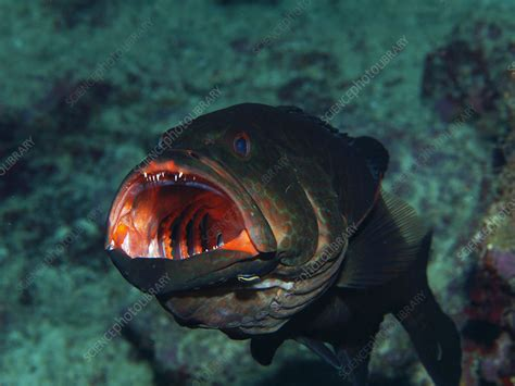 grouper tiger goby cleaned being