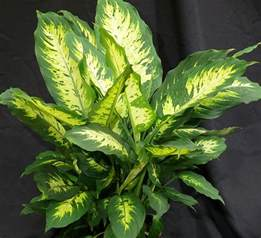 How to Care for Dieffenbachia Plant