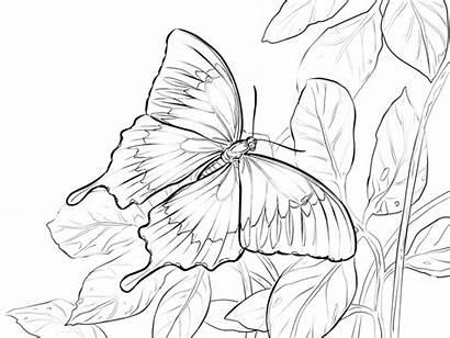 Kupu Hitam Putih Gambar Mewarnai Untuk Bunga