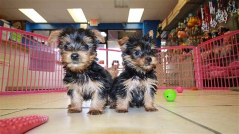 teacup yorkie shedding teacup terrier puppies for sale in