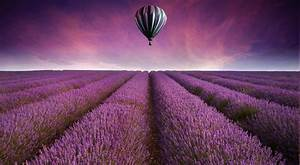 Hot, Air, Balloons, Field, Lavender, Purple, Flowers, Landscape, Wallpapers, Hd, Desktop, And, Mobile