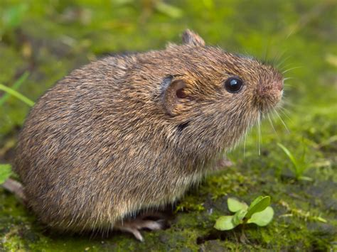 Voles Yard Removal Raleigh