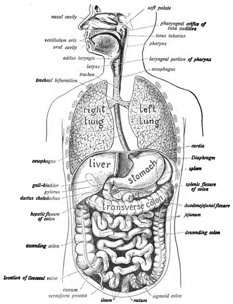 Human Digestive System Wikipedia