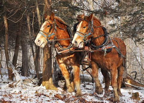 logging horse horses draft team young tag nicksnaturepics