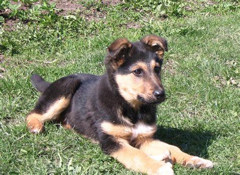 File Ee  German Ee    Ee  Shepherd Ee   Puppy Jpg