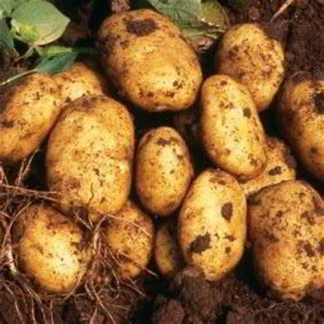 how to season potatoes seed potatoes maincrop first early and more suttons seeds and plants
