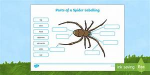 Parts Of A Spider Labelling Worksheets  Teacher Made