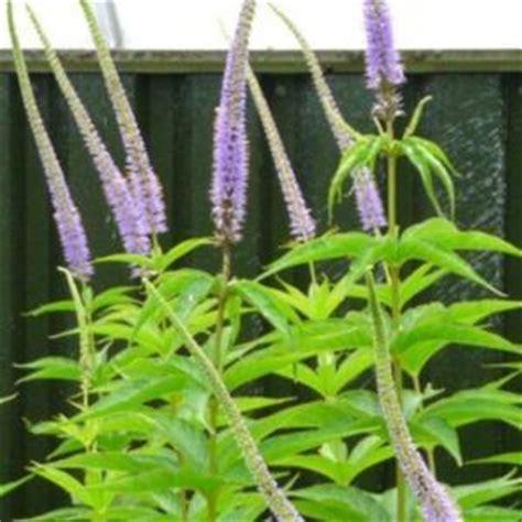 veronicastrum virginicum lavender towers culver s root veronicastrum virginicum lavendelturm garden org