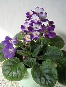 Plante Fleurie Intérieur : le saintpaulia rempotage et entretien saintpaulia ~ Premium-room.com Idées de Décoration