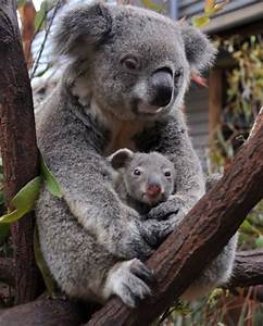baby koala - Yahoo Search Results | Animals | Pinterest ...