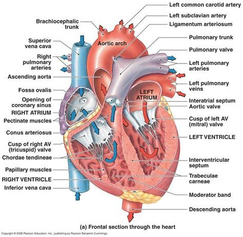 heart diagram rightleft atria rightleft ventricles pulmonary trunk aorta superior