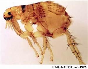 Comment Tuer Les Puces : tuer larves de puces poisson naturel ~ Farleysfitness.com Idées de Décoration