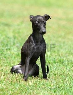 do italian greyhounds shed a lot adoption greyhound puppies and puppys on