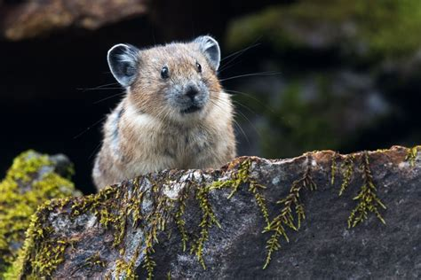 5 Surprising Facts About The American Pika Mnn Mother