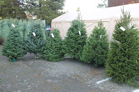 best seattle tree lot west seattle west seattle holidays holy rosary school tree lot now open daily with