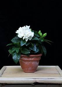 Jasmin Pflanze Pflege : gardenie pflege eine wundersch ne pflanze mit bet rendem duft ~ Markanthonyermac.com Haus und Dekorationen