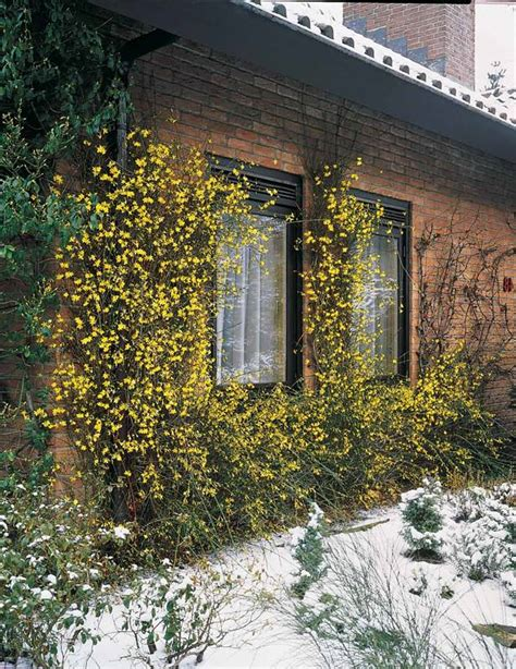 jasmin dhiver jasminum nudiflorum balcon terrasse