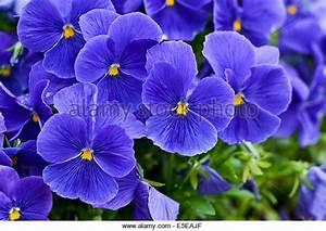 Blue Violets Stock Photos & Blue Violets Stock Images - Alamy