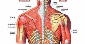 Back  Shoulder Anatomy