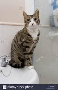 Was Heißt Waschbecken Auf Englisch : katze auf bad waschbecken einziges erwachsenen weibchen sitzen innen stockfoto bild 34002626 ~ Yasmunasinghe.com Haus und Dekorationen