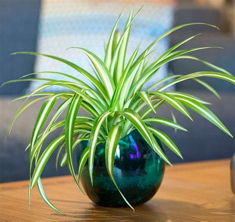 le bureau montpellier plantes vertes d 39 intérieur pour décorer la table à café