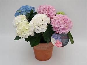 Blaudünger Für Hortensien : erstmals haltbare farbmischungen f r hortensien entwickelt ~ Michelbontemps.com Haus und Dekorationen