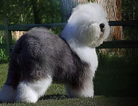 westminster  swagger   english sheepdog  compete    show pennlivecom