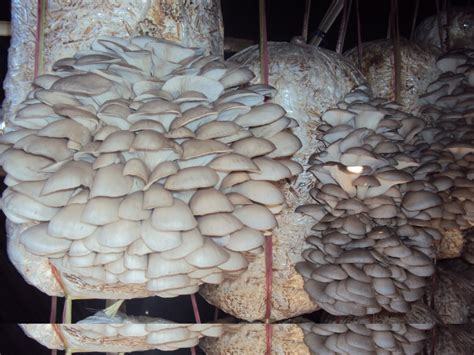 how to cultivate mushrooms how to start edible mushroom farming in nigeria step by step