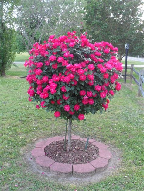 front yard trees my knock out rose tree in the front yard 5 2013 wow fan photos pinterest front yards