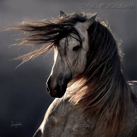 wojtek kwiatkowski equine horse grey spanish photographers horses dapple famous photographer pre