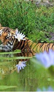 Tigers are very photogenic.   Jukani Wildlife Sanctuary ...