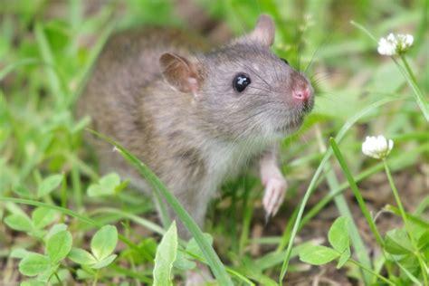 hunt  rodent continues  previously rat  alaska island