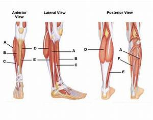 Lower Limb Muscles Labeled 32878