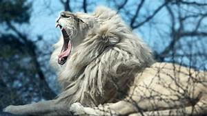 Wallpapers Of White Lion - Wallpaper Cave