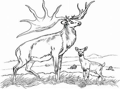 Deer Coloring Realistic Pages Whitetail Printable Getcolorings