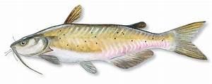 Catfishes; Eremophilus mutisii; Heteropneustes; Plotosus ...