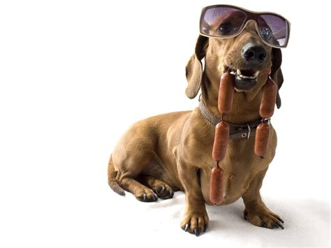 Dachshund Wallpapers HD Download