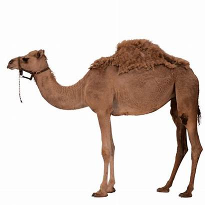 Camel Desert Transparent Animals Gameznet Purepng Alphabetical