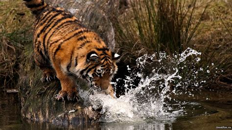 hd tiger wallpapers pak mobile ghar