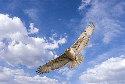 Hawk Wallpapers Coopers Wallpapersafari